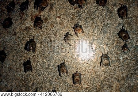 A Flock Of Bats Sleep On The Ceiling In A Cave. With A Flashlight In The Cave Of Bats.