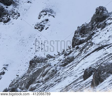 Herd Of Siberian Ibex On   Rocky Mountain Slope In The Process Of Migration. Landscape With Mountain