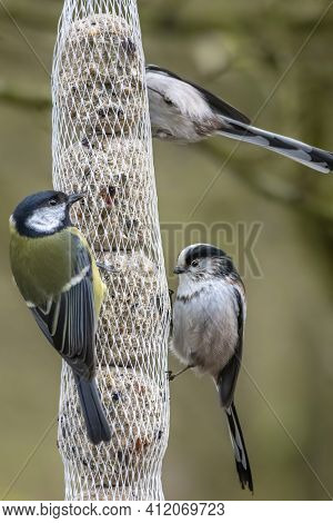 Two Long-tailed Tits And A Coal Tit Looking For Food At The Mönchbruch Pond In A Natural Reserve In