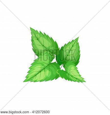 Green Peppermint Isolated Culinary Herb. Vector Tea Ingredient, Hybrid Mint, Cross Of Watermint And