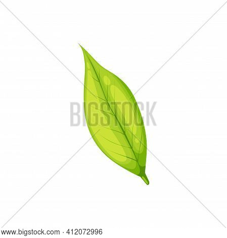 Green Leaf Isolated Fresh Organic Plant. Vector One Leaf From Tea Plantation, Hot Drink Ingredient.