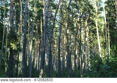 Background, Autumn Forest With Pine Trees. Dense Coniferous Forest, Evergreen Trees. Large Pine Tree