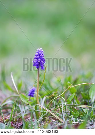 Blue Muscari Flowers. Mouse Hyacinth Plant.