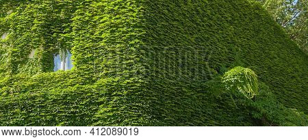Vine Creeper Around Window On Facade House Covered Wild Grape Vertical Plants Green Eco Home Ivy Cla