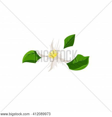 White Jasmine Flower Isolated Herbal Tea Ingredient. Vector Blooming Plant, Flower With Yellow Middl
