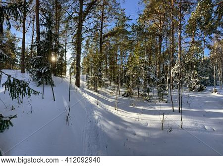 Panoramic View Of Winter Wild Park, Long Shadow Of Trunks Of Pine Trees At Frosty Sunny Weather, Gre
