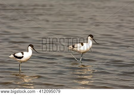 Avoceta (recurvirostra Avosetta) Group Of Water Bird, Wading, Feeding In Search Of Small Crustaceans