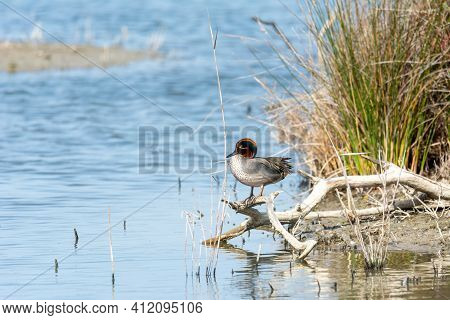 Green-winged Teal (anas Crecca) Cerceta Comun, In Savage State, Perched On A Branch On The Shore Of