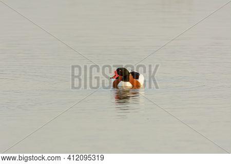 Common Shelduck (tadorna Tadorna) Swimming In Wetland, Natural Park Of Mallorca Spain