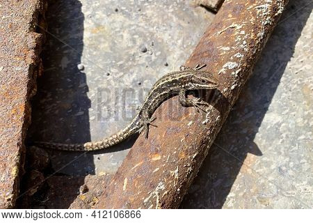Small Lizard Warming On The Rustic Metallic Pipe In The Backyard. Animals And Amphibians In Wildlife
