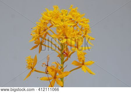 Bright Yellow Epidendrum Orchid Flower In Bloom