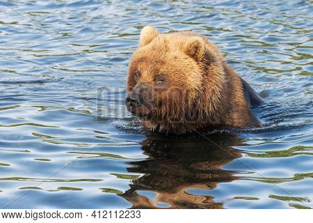 Hungry Kamchatka Brown Bear Stands In River, Looking Around In Search Of Food - Red Salmon Fish. Wil