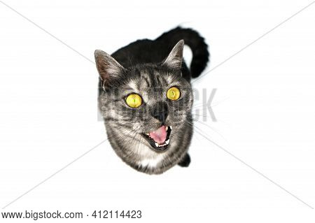 A Gray Cat With Yellow Eyes Meows And Looks At The Camera. Cat Isolated On A White Background, Top V