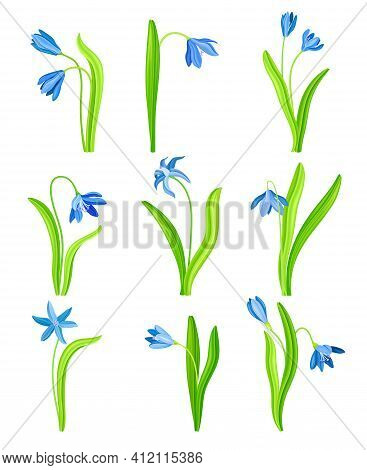 Snowdrop Or Galanthus With Blue Drooping Bell Shaped Flower And Linear Leaves Vector Set
