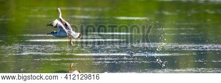 Close Up Of A Flying Seagull Water Take-off With Splashes. Gull Takes Off From The Water As The Earl