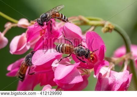 Close Up Honey Bee Collecting Nectar From Pink Flower