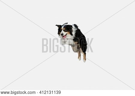 Big Australian Shepherd, Purebred Dog Jumping Isolated Over White Background.