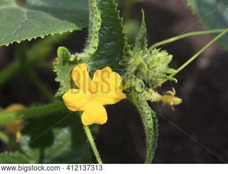Cucumber Flower And Ovary Of The Young Fruits. A Beautiful Plant Sprout On The Nature Background Out