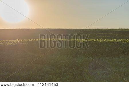 Rural Landscape Of A Soy Plantation (glycine Max) At Dawn