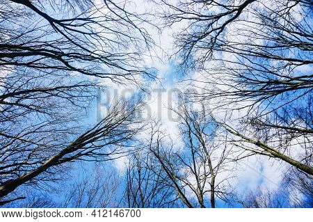 Winter Park Background. Autumn Leafless Tree Texture. Tree Tops From Below. Tree Branch Isolated On