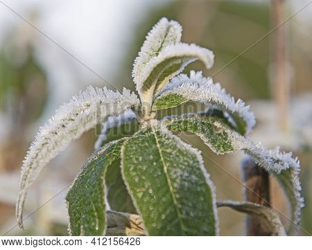 Closeup Detail Of Frozen Hoar Frost Covered Leaves On Plants In Garden During Winter With Ice