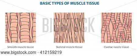Types Of Animal Tissues By Structure - Muscle Tissue.