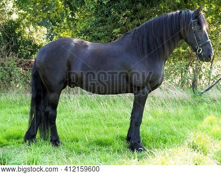 A Shot Of A Beautiful Friesian Horse In A Snaffle Bridle.