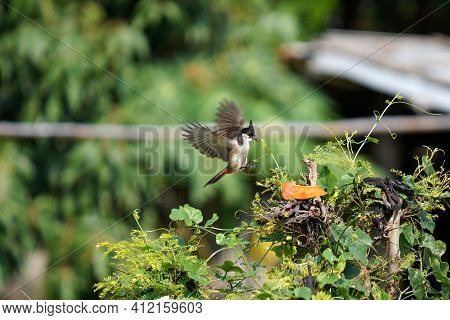 Red-whiskered Bulbuli Asiatic Threatened Birds, Popular Birds Singing Competitio