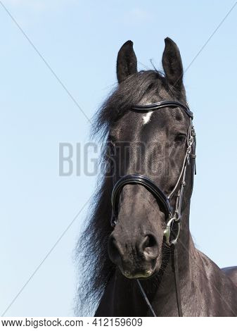 A Head Shot Of A Beautiful Friesian Horse In A Snaffle Bridle.
