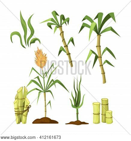 Fresh Cane Sugar With Stem And Leaf Plants Set. Sugarcane Plants, Cane Sugar Lumps, Bamboo. Natural