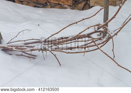 Bound And Laid On The Ground Raspberry Branches In Winter In The Snow.