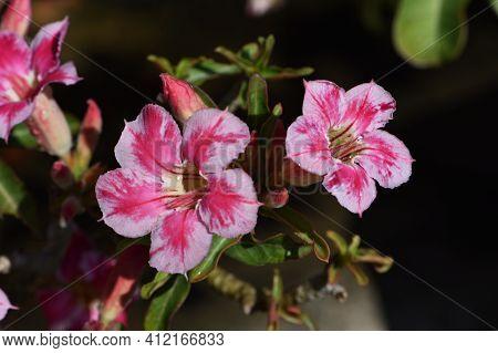 Azalea Or Desert Rose Flowers Is Blooming In Garden With Black Background . Azalea Is Colorful Flowe
