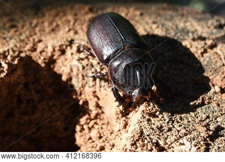 A Coconut Rhinoceros Beetle Lay On Coconut Stump With Sunlight .it Is A Insect Pest Of Palm And Coco