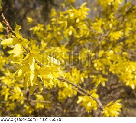 Yellow Blooming Forsythia Flowers In Spring Close Up. It Is An Ornamental Deciduous Shrub Of Garden