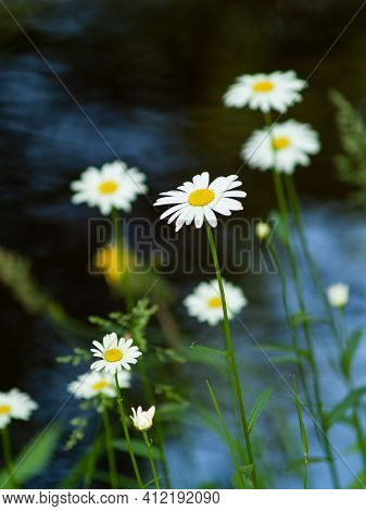 Group White Daisy Flowers On Water Background.
