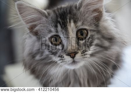 Portrait Of A Kitten Maine Coon Coloring Mackerel Tabby Close Up