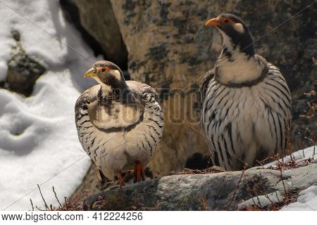 Himalayan Snowcock Bird Tetraogallus Himalayensis Among Stones. Sagarmatha, Khumbu Region, Himalaya,
