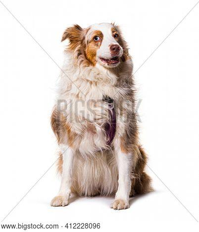 odd-eyed Expressive australian shepherd dog red merle, isolated