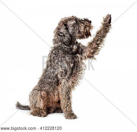 Shaggy Mixed breed dog pawing up