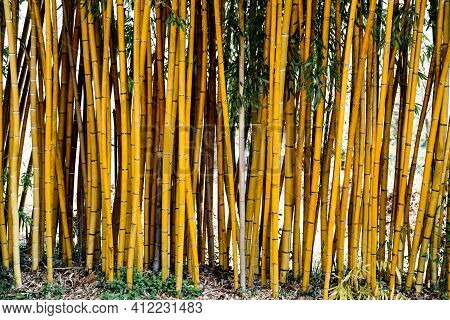 Bamboo Trunks Growing In The Ground. Bamboo Wall Texture. Living Bamboo Trunks With Leaves.