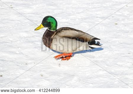 Ducks Left To Spend The Winter Walk In The Snow In The City Park. On A Cold Winter Day, Ducks Sit In