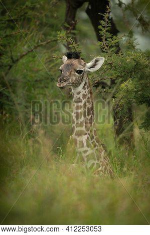 Baby Masai Giraffe Lying Down In Bushes
