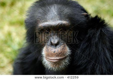 Tier Schimpanse ape