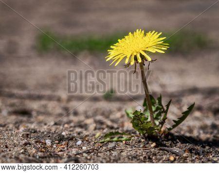 Macro Photo Of A Dandelion Plant. Dandelion Plant With A Fluffy Yellow Bud. Yellow Dandelion Flower