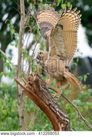 A Eurasian Eagle Owl Or Eagle Owl. Land On A Stump. . With Spread Wings And Claws Out, Just Above Th