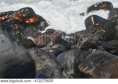 Marine Iguana, Amblyrhynchus Cristatus, Also Sea, Saltwater, Or Galápagos Marine Iguana Sitting Amon