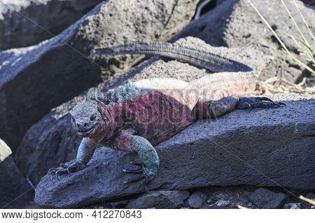 Marine Iguana, Amblyrhynchus Cristatus, Also Sea, Saltwater, Or Galápagos Marine Iguana Sitting On T