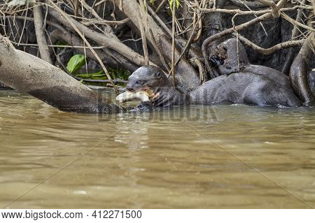 Giant River Otter, Pteronura Brasiliensis, A South American Carnivorous Mammal, Longest Member Of Th