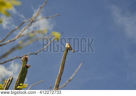 Beautiful Austral Peregrine Falcon, Falco Peregrinus Cassini, Sitting High On Cactus In The Dry And