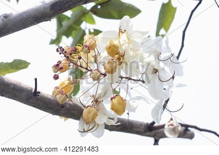 Beautiful Cassia Siam White Or White Rainbow Shower Tree Bloom On The Tree In The Garden.